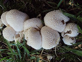 Lycoperdon curtisii 98116.jpg