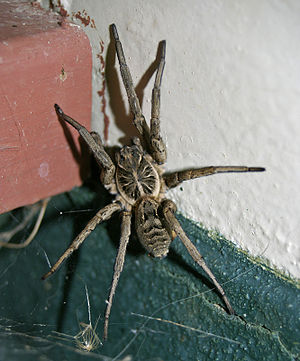 English: Lycosa leuckarti (Wolf spider) photog...