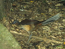 Lyrebird Albert f 20091125 flash.JPG