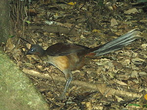 Lyrebird - Female Albert's lyrebird