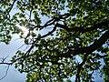 MD.DN.Dondușeni - stejar pedunculat pe traseul Dondușeni-Plop - apr 2018 - 16.jpg