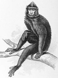 Gorontalo macaque Species of mammal