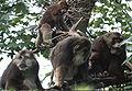 Macaca thibetana Groupe.jpg