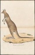 Macropus giganteus - 1700-1880 - Print - Iconographia Zoologica - Special Collections University of Amsterdam - UBA01 IZ20300017.tif