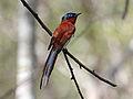 Madagascar Paradise Flycatcher RWD4.jpg