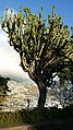 Madeira, Funchal. Euphorbia ingens.jpg