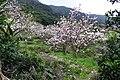 Magnolia denudata 辛夷 - panoramio.jpg