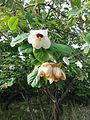 Magnolia wilsonii Christchurch 1.jpg