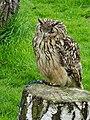 Maidstone Leeds castle Indian Eagle Owl.jpg