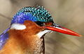 Malachite Kingfisher, Alcedo cristata at Marievale Nature Reserve, Gauteng, South Africa (21175362049).jpg