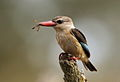 Male Brown-hooded Kingfisher, Halcyon albiventris caught a wasp, Tzaneen area, Limpopo, South Africa (14710551650).jpg