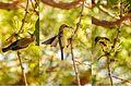 Male Purple Sunbird (Hyderabad).jpg