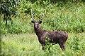 Male Sambar deer by Joseph Lazer.jpg