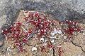 Malta - St. Paul's Bay - Triq tax-Xtut-Keddedy Grove - Is-Salini - Sedum caeruleum 02 ies.jpg