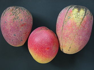 Cogshall (mango) - Two 'Cogshall' mangoes pictured to the left and right with a 'Haden' mango in the middle, of which 'Cogshall' was likely a seedling