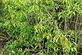 Mangroves 00613.JPG