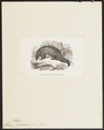 Manis pentadactyla - 1700-1880 - Print - Iconographia Zoologica - Special Collections University of Amsterdam - UBA01 IZ21000023.tif