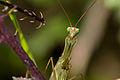Mantis religiosa (6).jpg