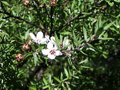 Leptospermum scoparium foliage and flowers
