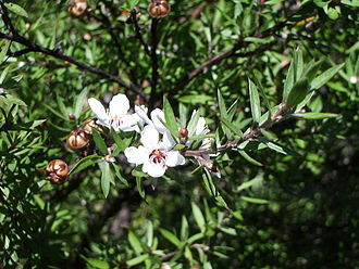 "Tea in Australia - Leptospermum scoparium (also called the ""ti tree"") foliage and flowers were used to produce an infusion drunk by tribes of Aboriginal Australians"