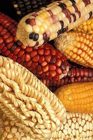 Genetiskt modifierad majs.