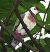 Manycolouredfd male bibis