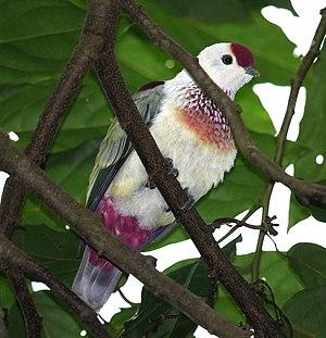 Many-coloured fruit dove - Male, Matei, Taveuni, Fiji Isles