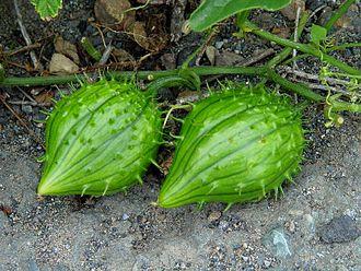 Marah (plant) - Coastal manroot (Marah oreganus) fruit