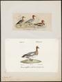 Mareca penelope - 1700-1880 - Print - Iconographia Zoologica - Special Collections University of Amsterdam - UBA01 IZ17600325.tif