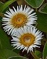 Marlborough Rock Daisy (6480809771).jpg