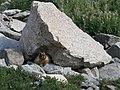 Marmota flaviventris yellowBelliedMarmot atHome.jpg