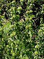 Marrubium vulgare1.jpg