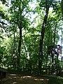 Mass Audubon's Arcadia Wildlife Sanctuary , Carya Ovata (Shagbark Hickory) - panoramio.jpg