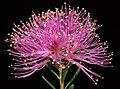 Melaleuca seriata - Flickr - Kevin Thiele.jpg