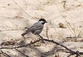 Melaniparus cinerascens subsp cinerascens, Trans-Kalahari-hoofweg, Birding Weto, a.jpg