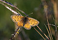 Melitaea trivia fascelis - Lesser Spotted Fritillary.jpg