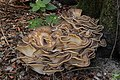 Meripilus giganteus (44206720805).jpg