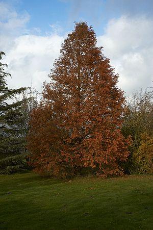 Dawn Redwood Français : Séquoïa de Chine Neder...