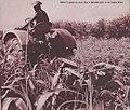 Millet cultivation in Upper Volta.jpg