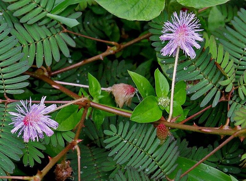 النبتة الخجولة أو نبتة لا تلمسني !!(( Touch-Me-Not! )) 800px-Mimosa_pudica_