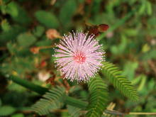 (Mimosa pudica)Flower-head