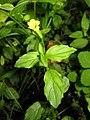 Mimulus nepalensis 1.JPG