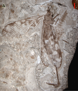 Holcorpa - Miriholcorpa forcipata holotype, a Middle Jurassic scorpionfly