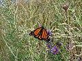 Monarch (Danaus plexippus) (7174004787).jpg