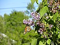 Monarch Butterfly on Lilac - Atikokan, ON.JPG