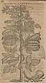 Monardes - 1574 - De simplicibus medicamentis - UB Radboud Uni Nijmegen - 208278206 66 phaseolus alter brasilianus.jpg