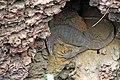 Monitor Lizard. (27971578608).jpg