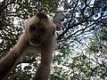 Mono Capuchino Colgado.JPG
