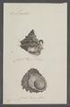 Monodonta spec. - - Print - Iconographia Zoologica - Special Collections University of Amsterdam - UBAINV0274 082 21 0005.tif