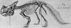 Ceratopsia - Montanoceratops, a leptoceratopsid